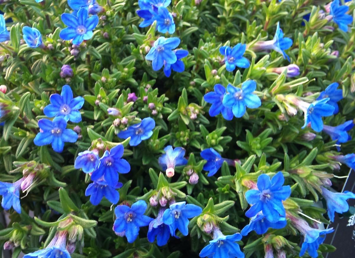 lithodora_diffusa_heavenly_blue-e1453714686701